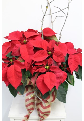 Grand poinsettia